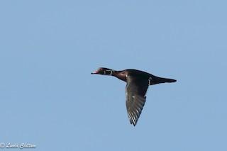 Wood Duck, ML125991471