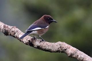 - Madagascar Starling