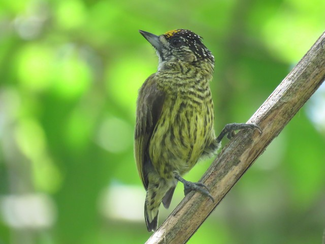 Bar-breasted Piculet