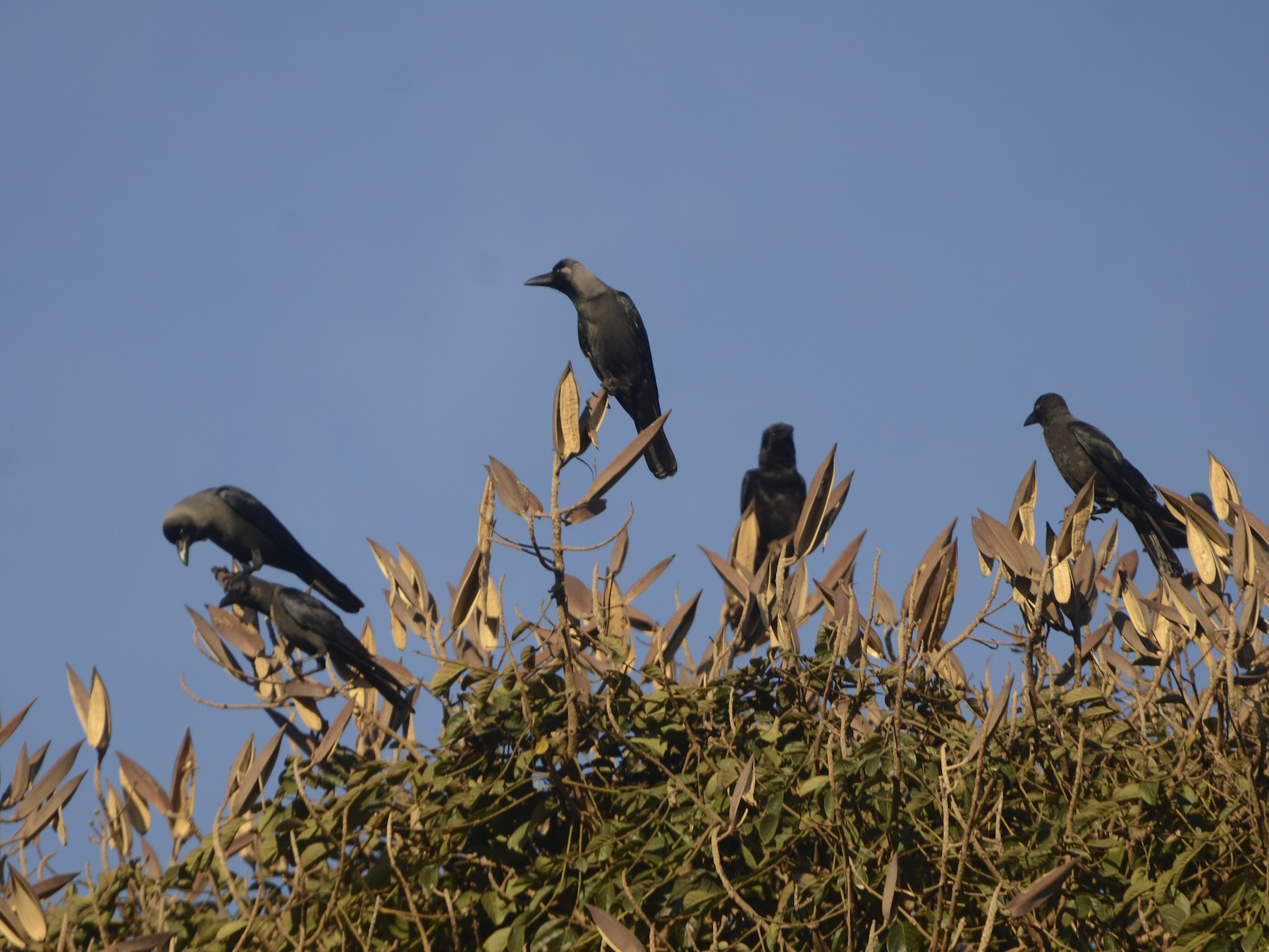 House Crow - Panchapakesan Jeganathan