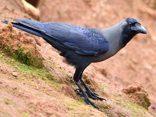 - House Crow