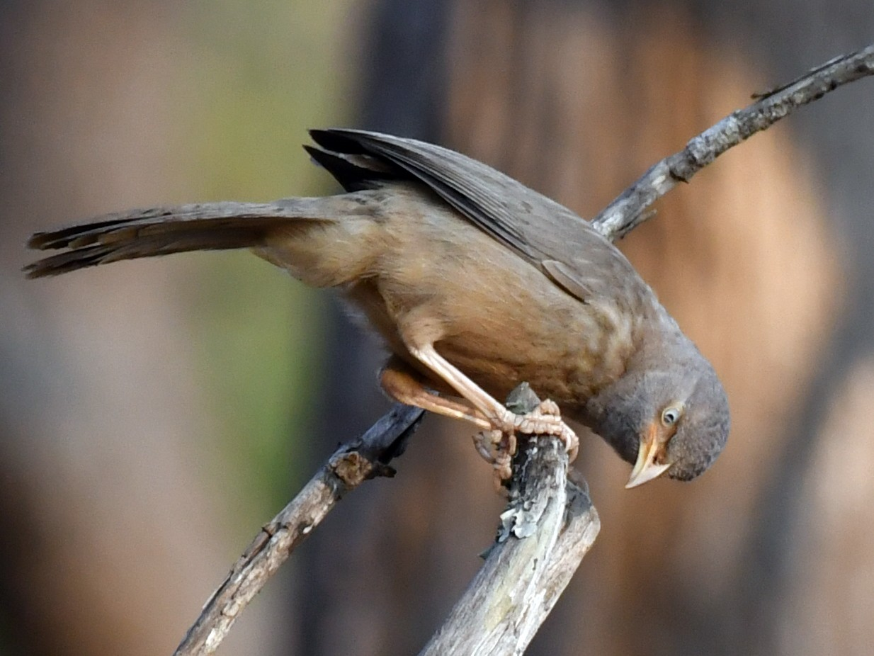 Jungle Babbler - Anirudh Kamakeri