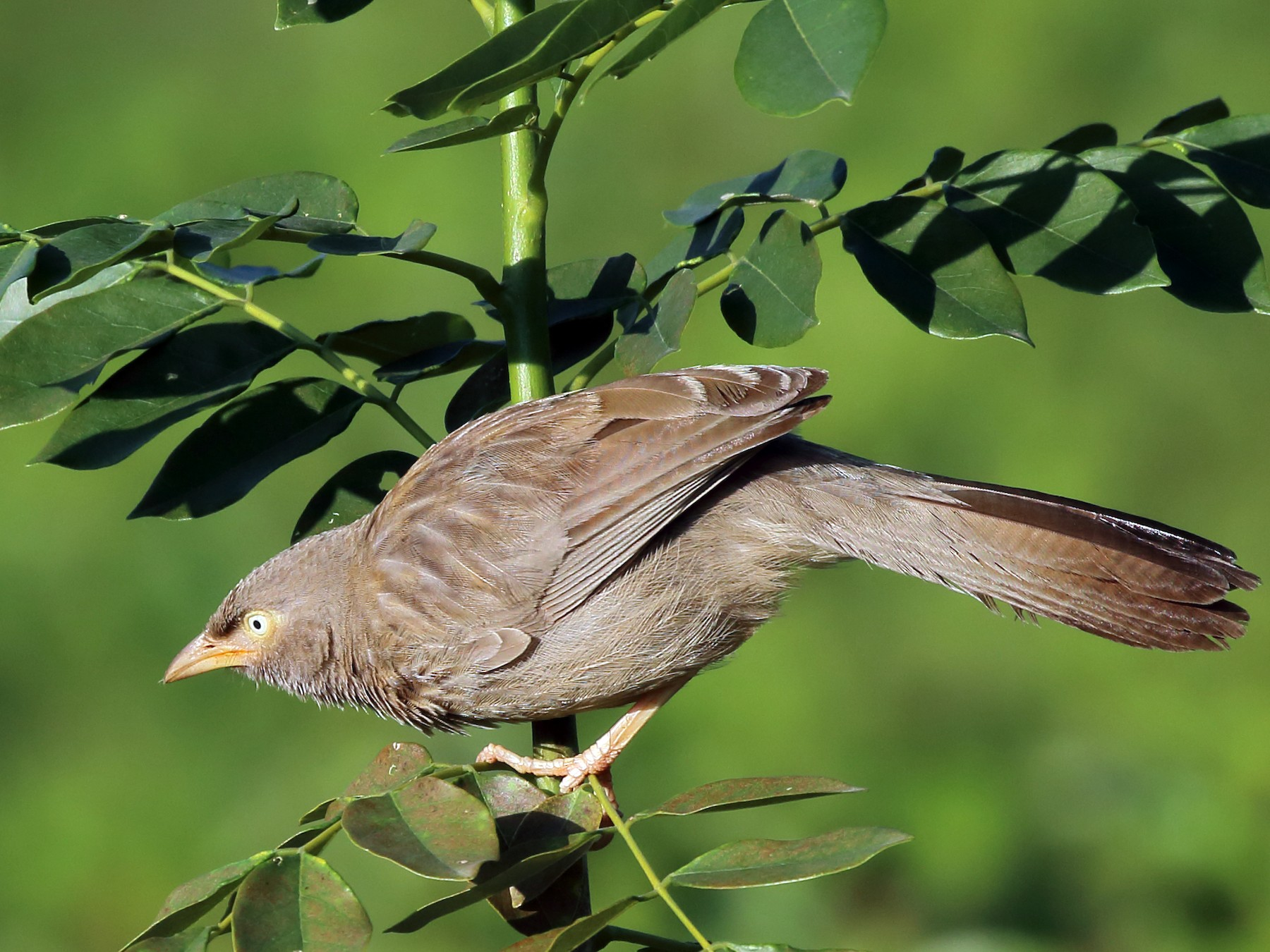 Jungle Babbler - Rahul  Singh