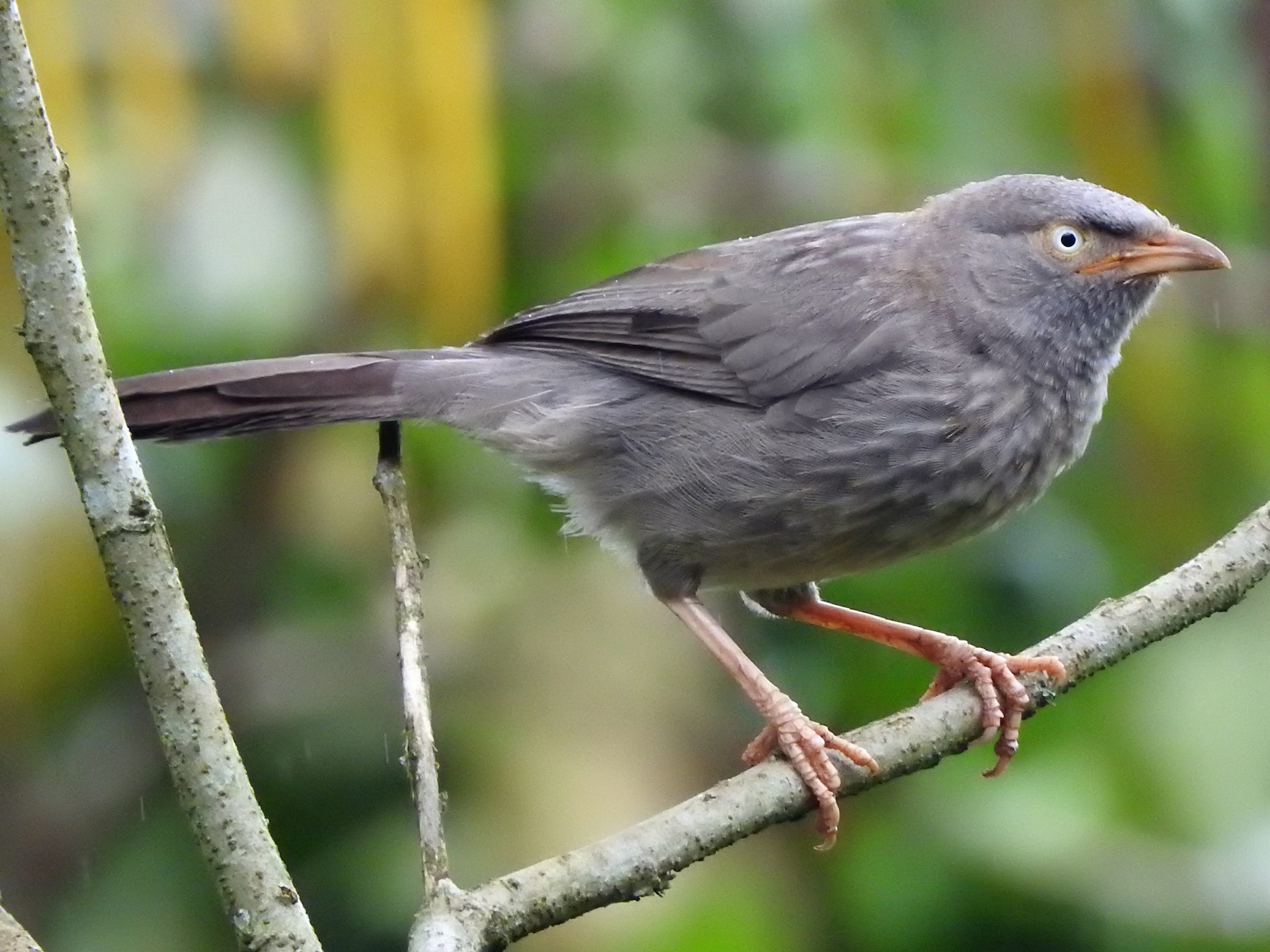 Jungle Babbler - ADARSH  G
