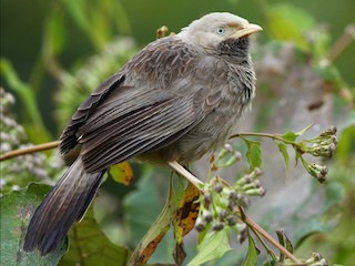 - Yellow-billed Babbler