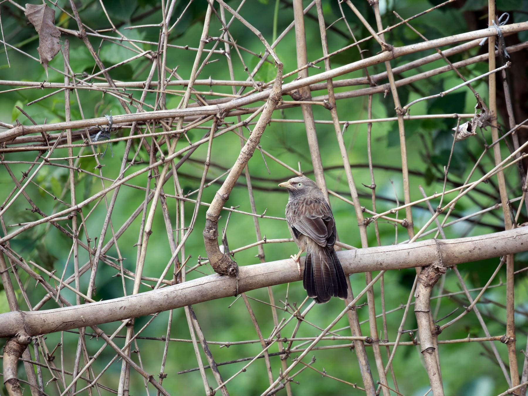 Yellow-billed Babbler - Surendhar Boobalan