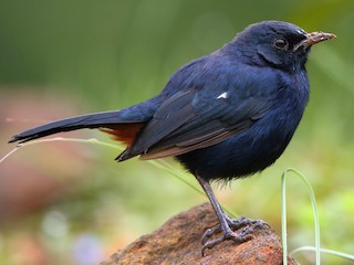 - Indian Robin