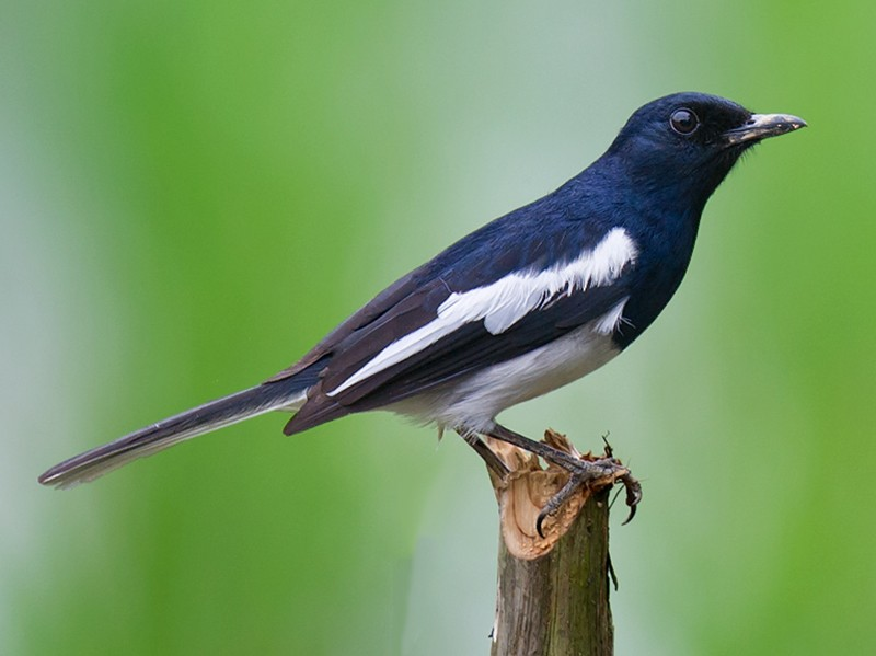 Oriental Magpie-Robin - Craig Brelsford