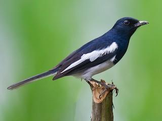- Oriental Magpie-Robin