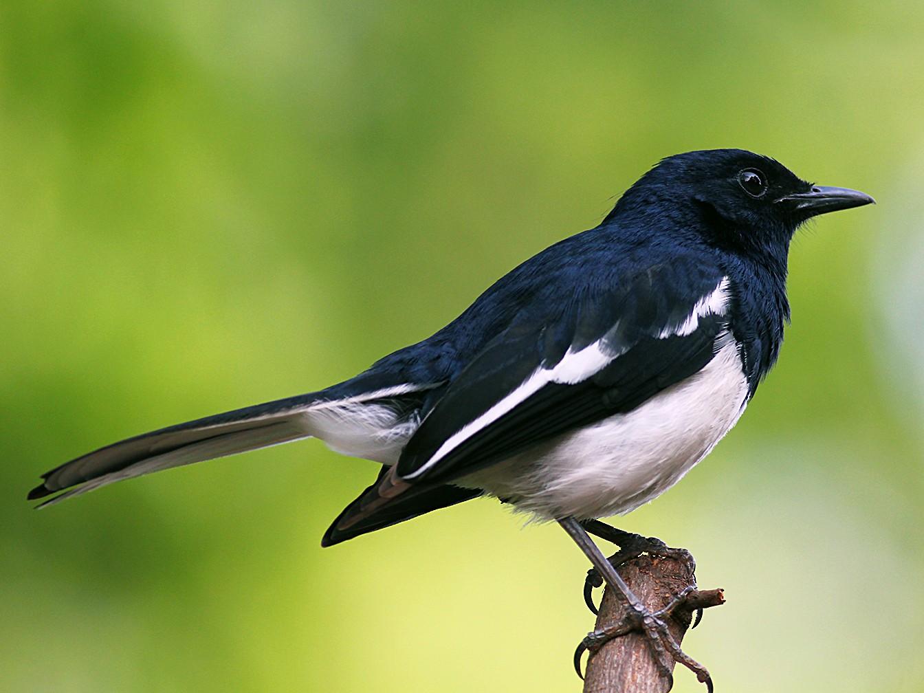 Oriental Magpie-Robin - Aravind AM