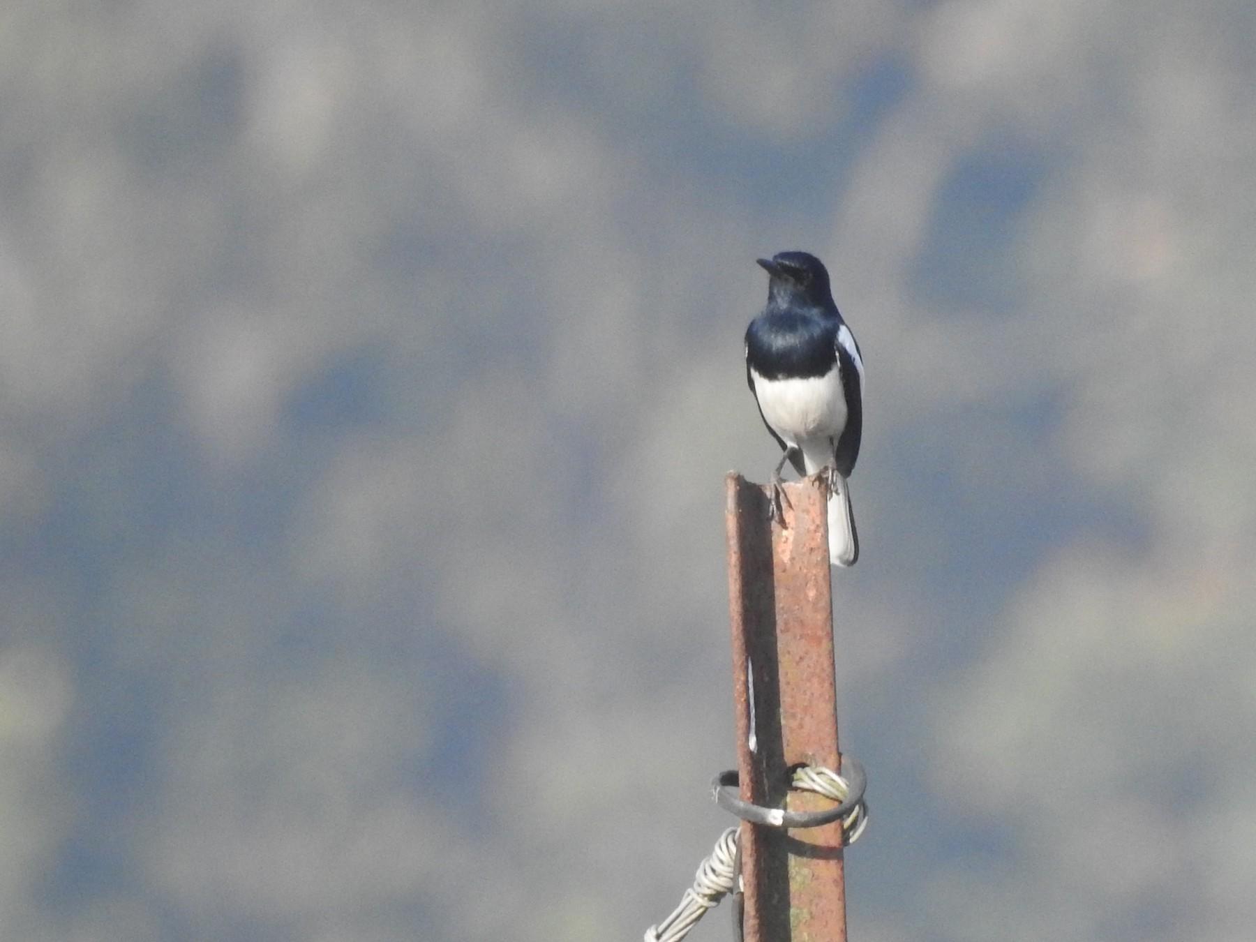Oriental Magpie-Robin - Sitendu Goswami