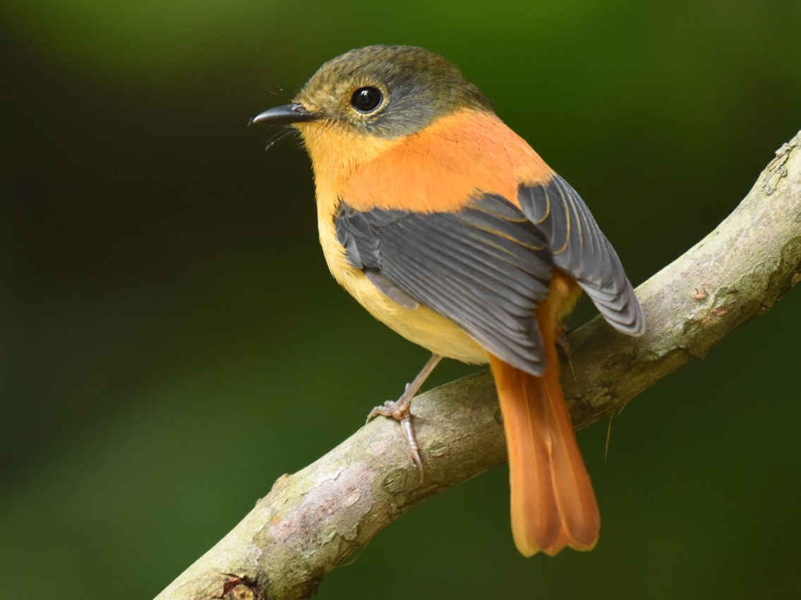 Black-and-orange Flycatcher - Renuka Vijayaraghavan