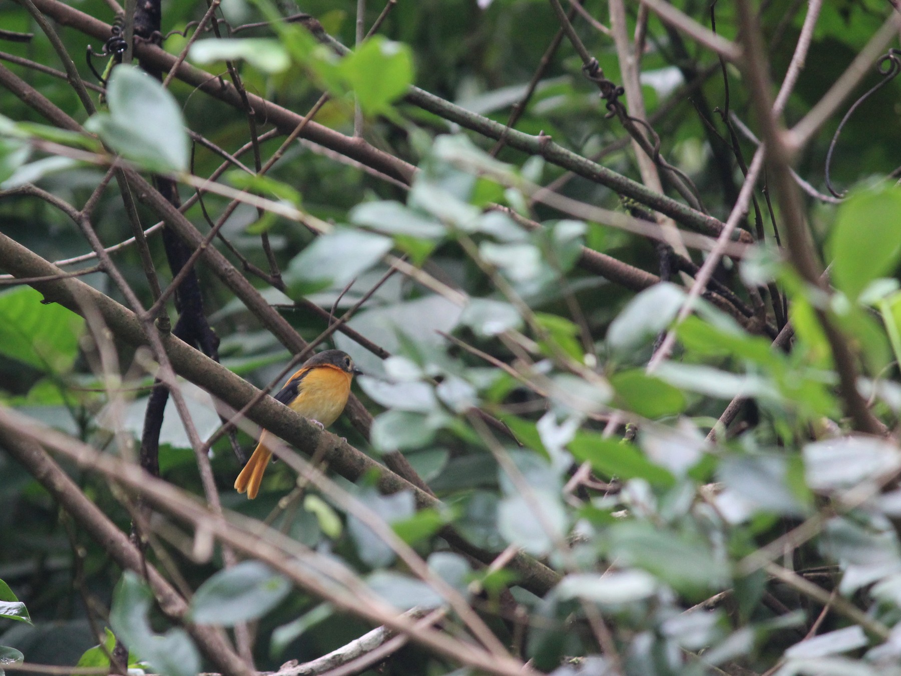 Black-and-orange Flycatcher - Ashwin Viswanathan