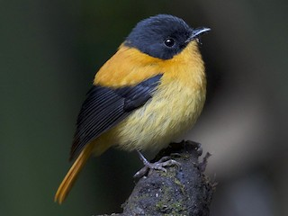- Black-and-orange Flycatcher