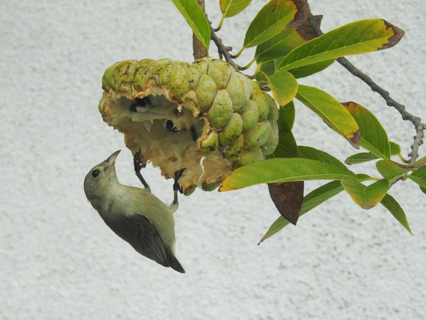 Pale-billed Flowerpecker - V.KalaiSelvan,P.U.P.School, Neermullikuttai,Salem.