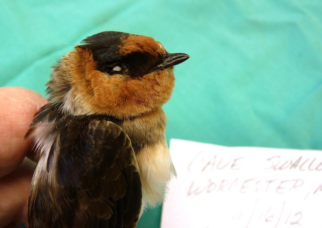 Cave Swallow (Texas)
