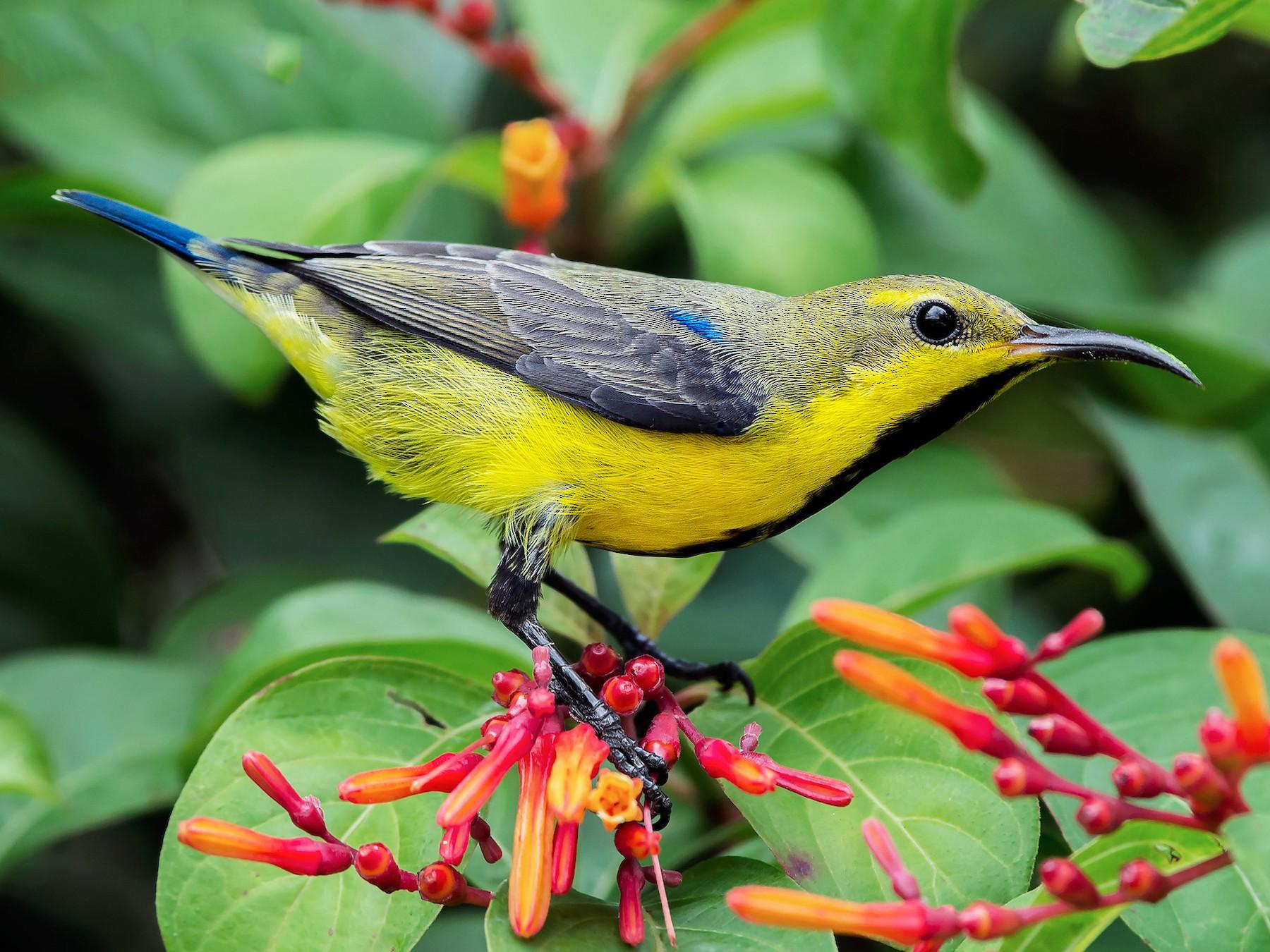 Purple Sunbird - Natthaphat Chotjuckdikul