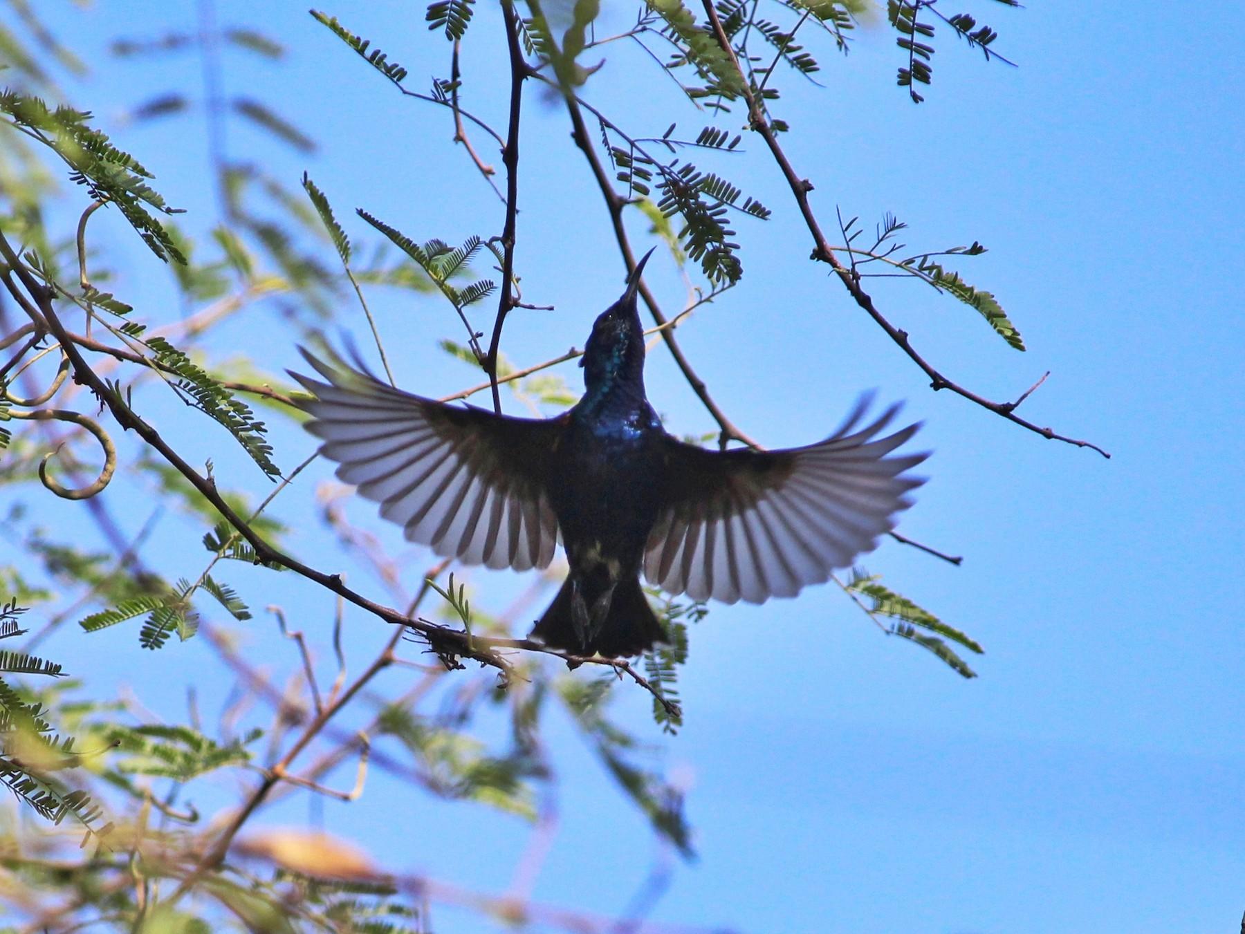 Purple Sunbird - NANDAGOPAL S A