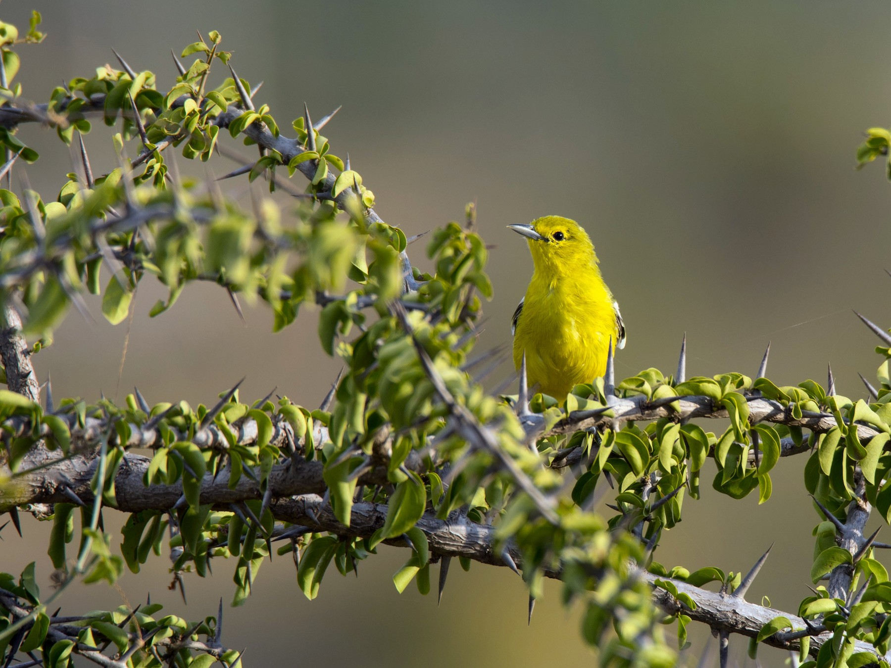 Common Iora - Venkatesh  R