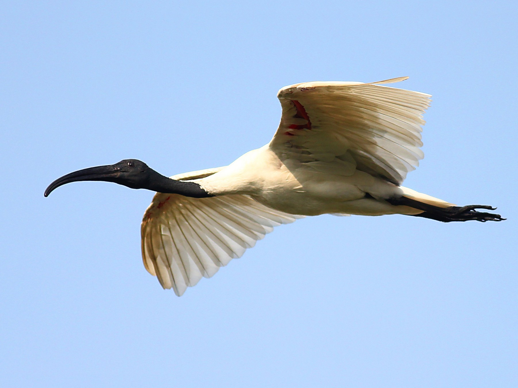 Black-headed Ibis - Aravind AM