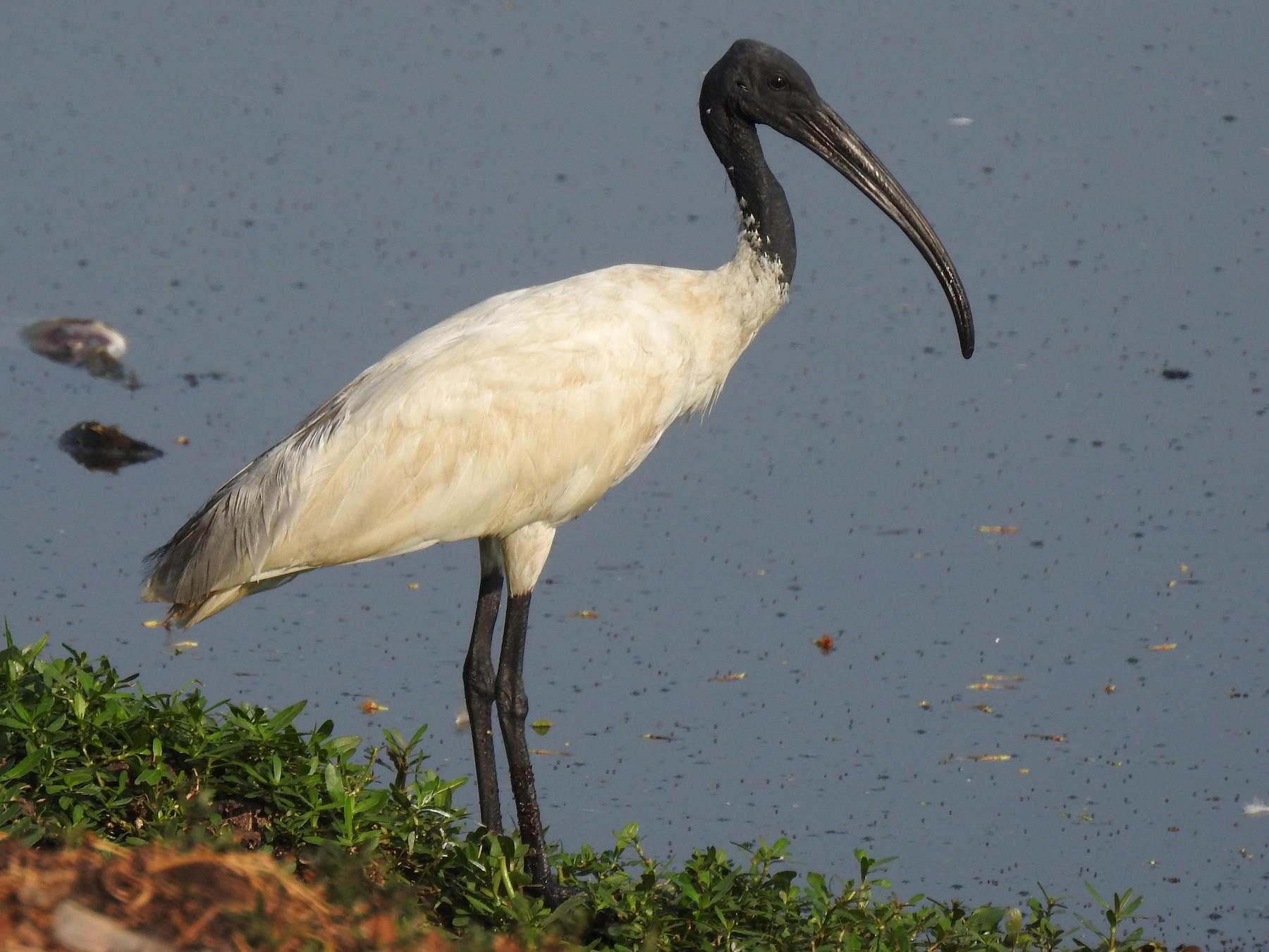 Black-headed Ibis - G Parameswaran