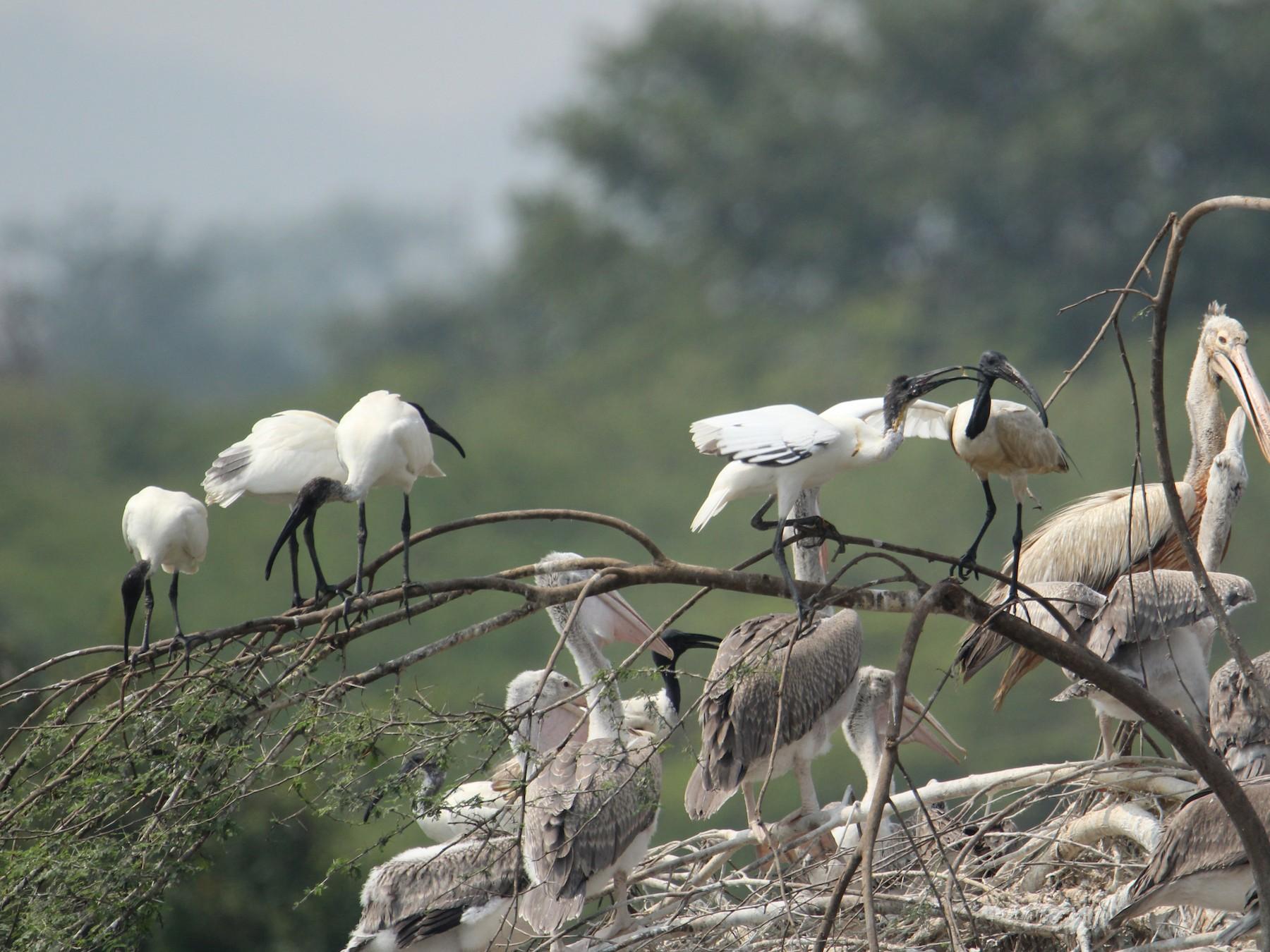 Black-headed Ibis - Karthick VS
