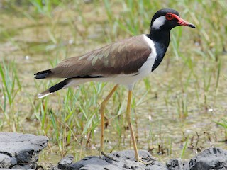 - Red-wattled Lapwing