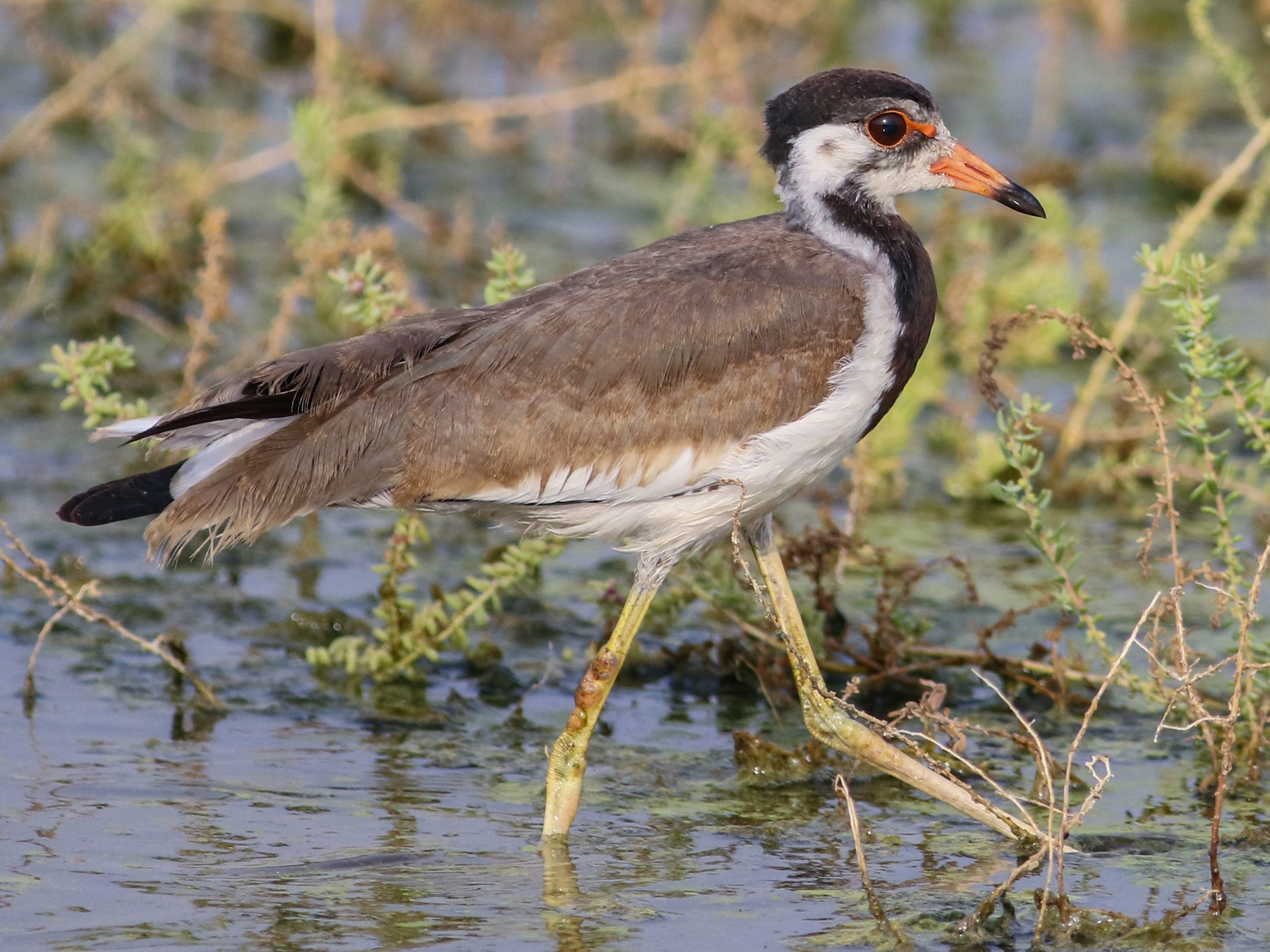 Red-wattled Lapwing - Kavi Nanda