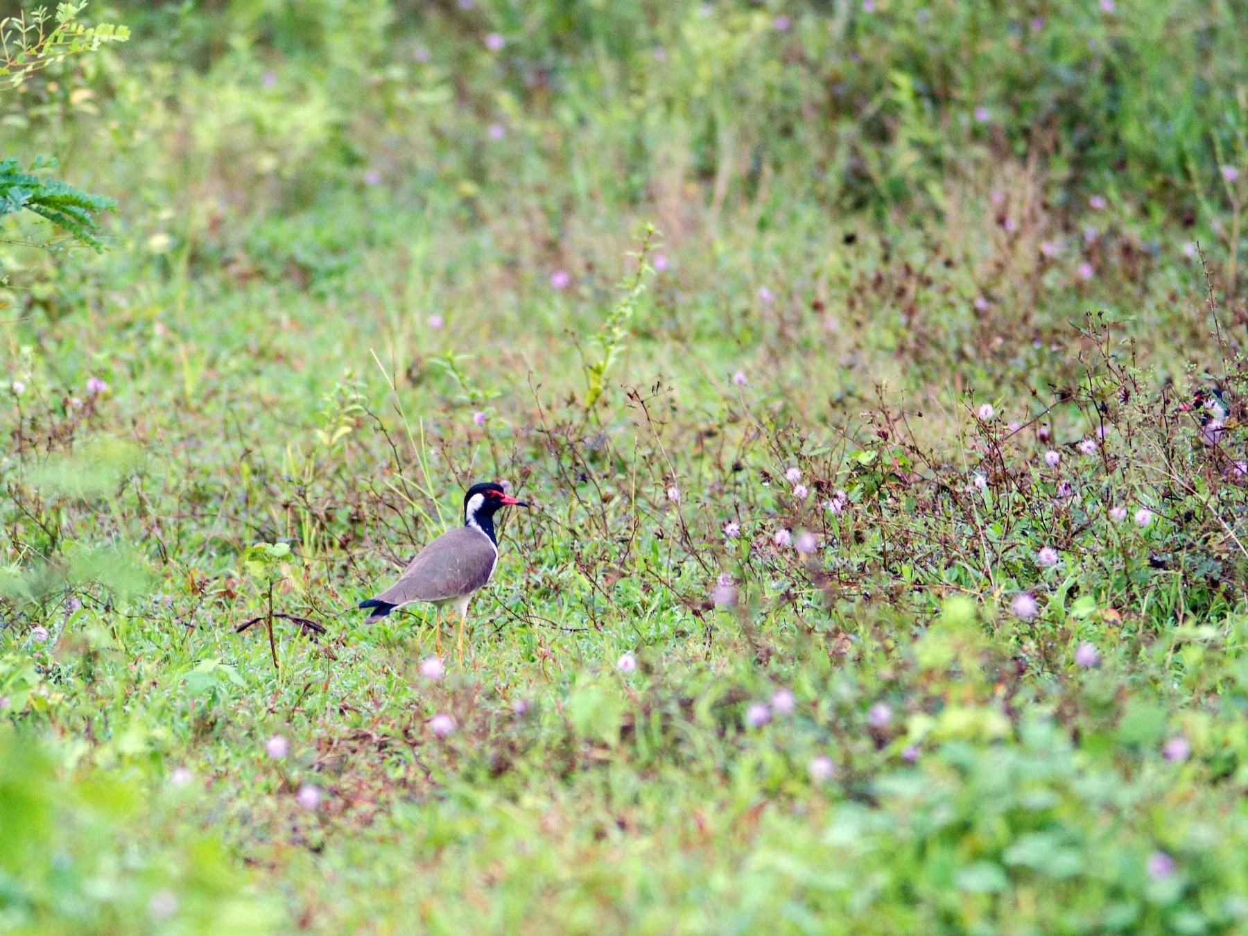 Red-wattled Lapwing - Ashik Musicroom
