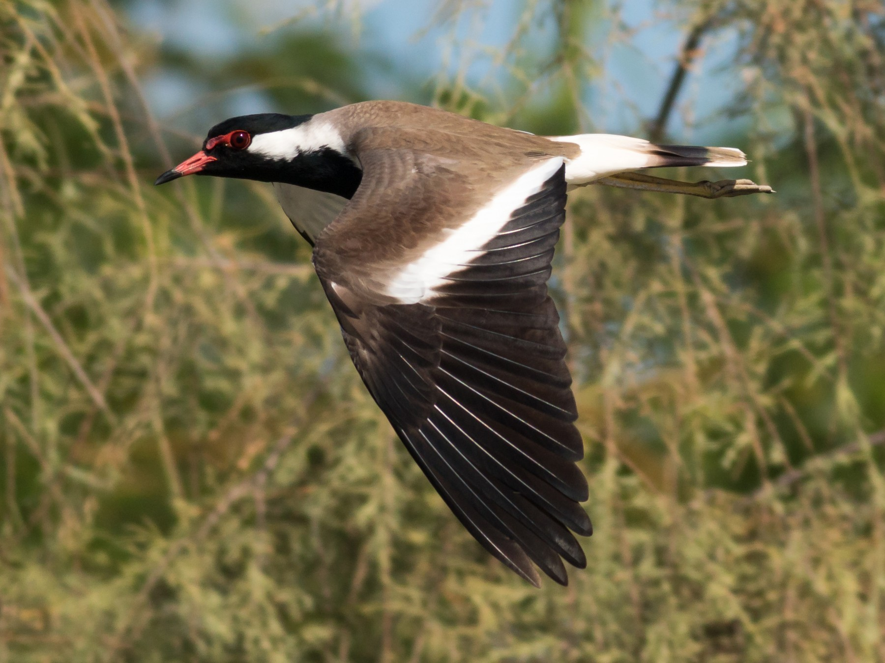 Red-wattled Lapwing - Markus Craig