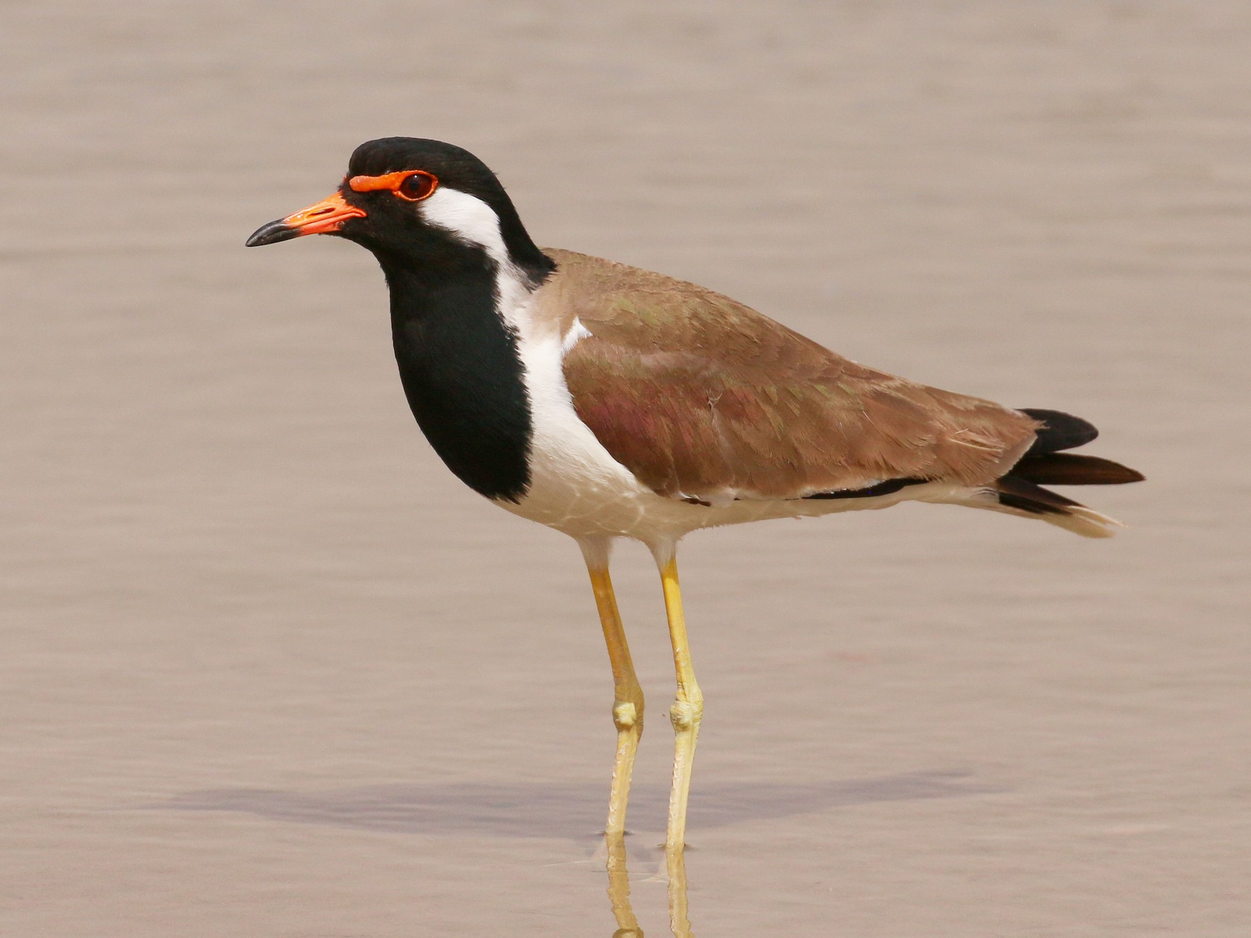 Red-wattled Lapwing - Tommy Pedersen