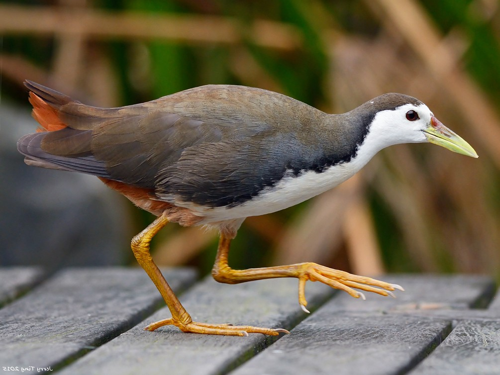 White-breasted Waterhen - Jerry Ting