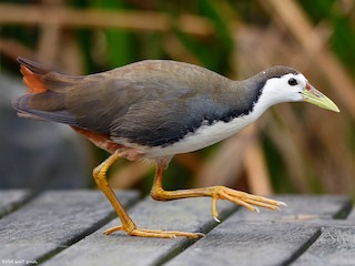 - White-breasted Waterhen