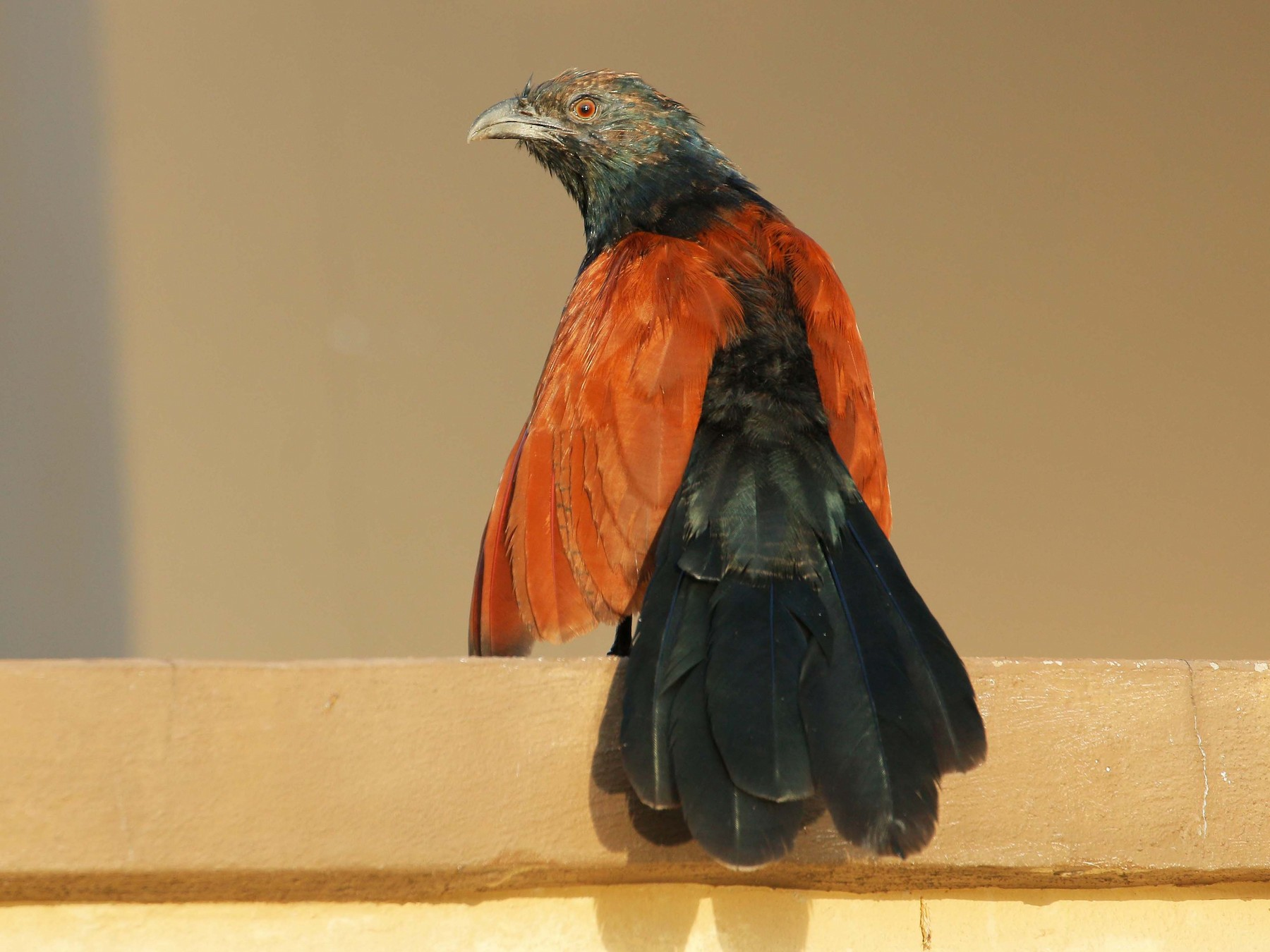 Greater Coucal - Neoh Hor Kee