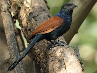 - Greater Coucal