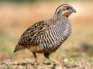 - Jungle Bush-Quail