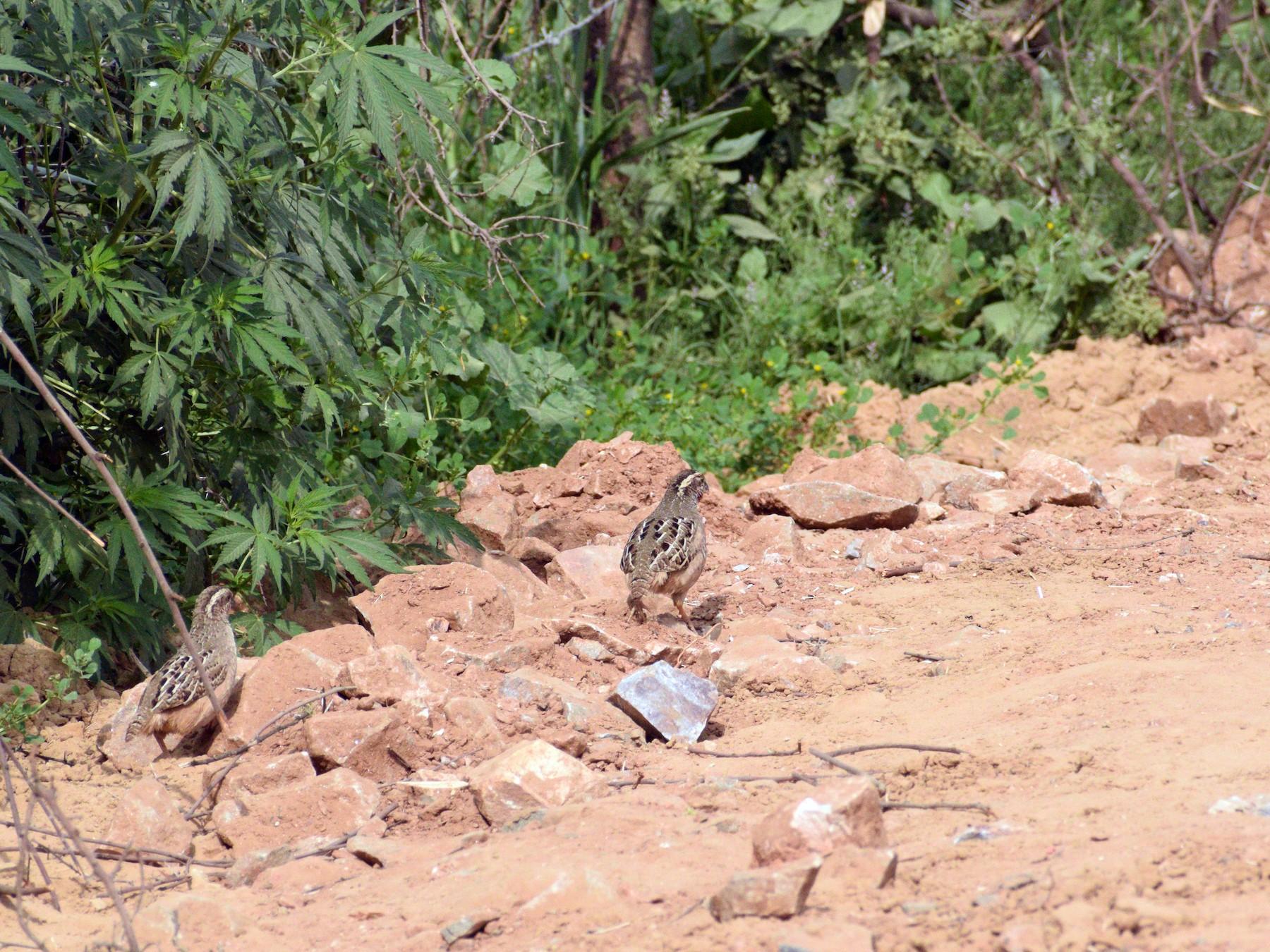 Jungle Bush-Quail - Sibaram Behera