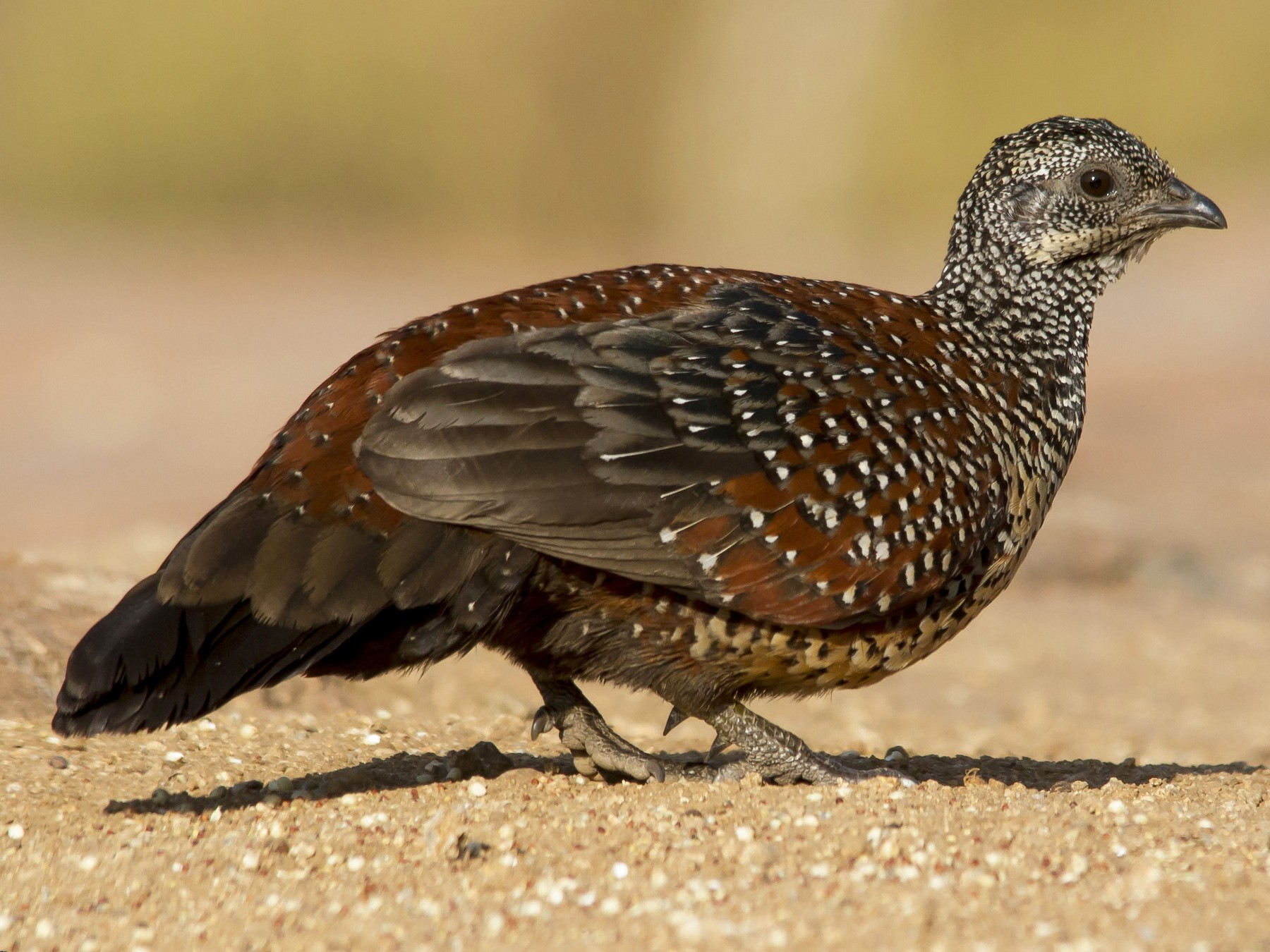 Painted Spurfowl - Pronoy Baidya