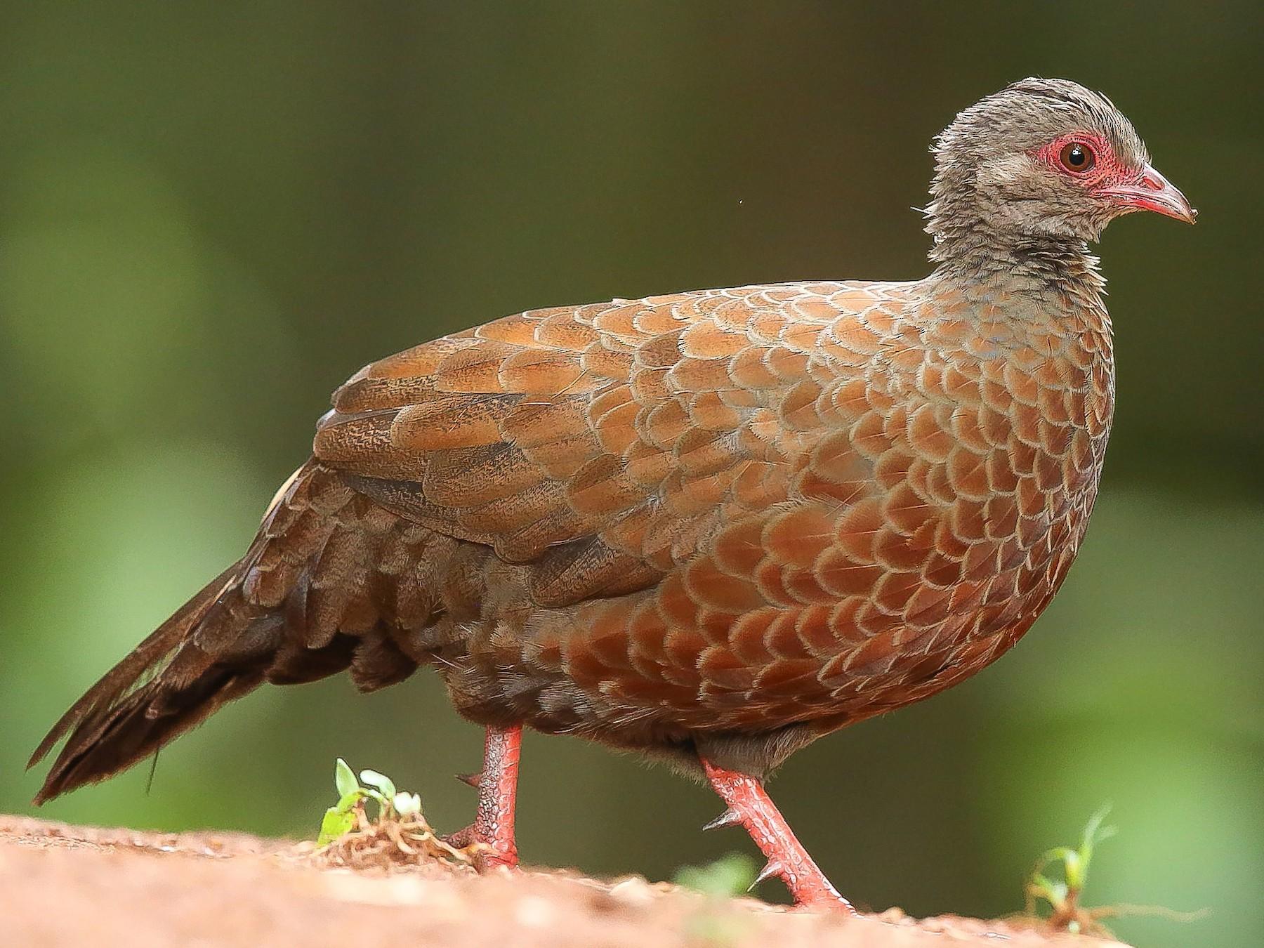 Red Spurfowl - Rajinikanth Kasthuri