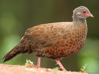 - Red Spurfowl