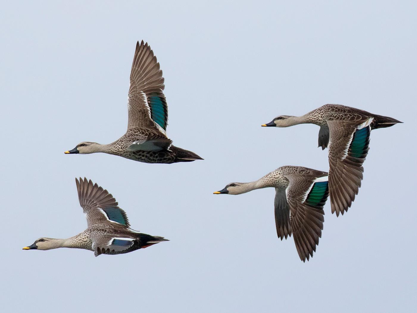 Indian Spot-billed Duck - Ayuwat Jearwattanakanok