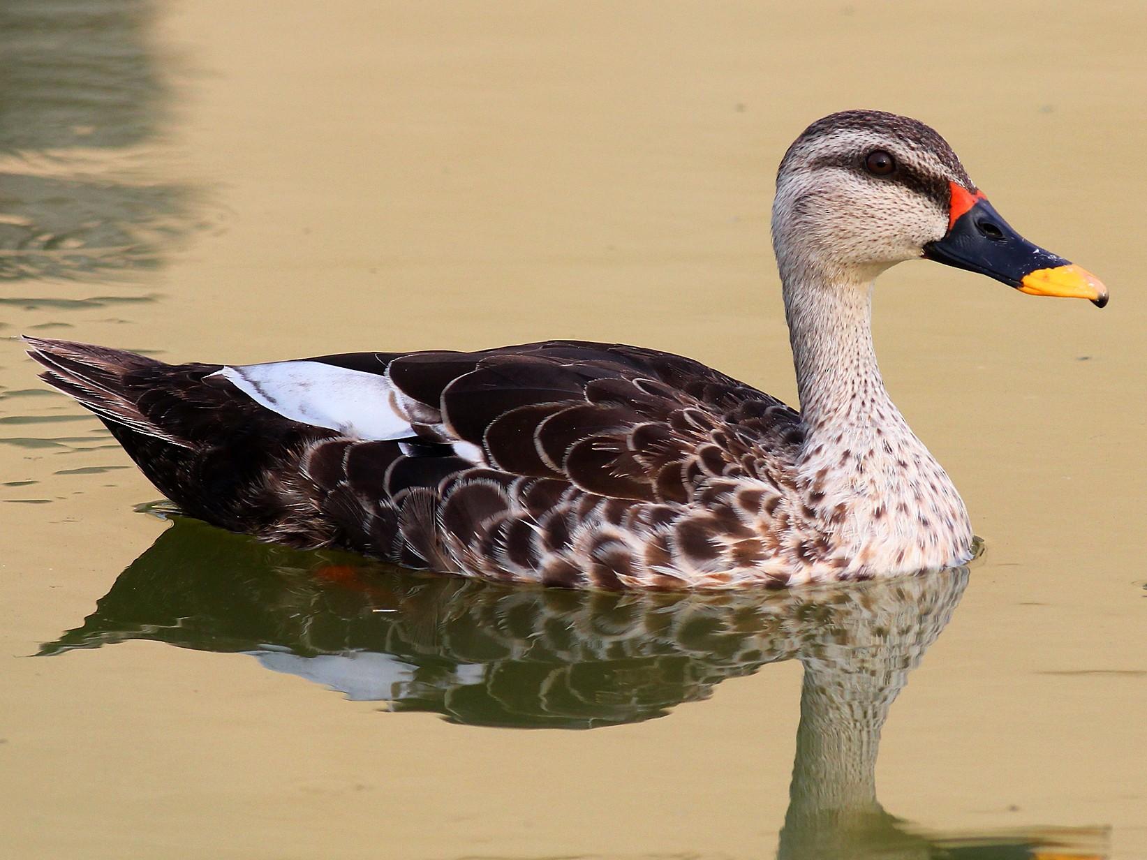 Indian Spot-billed Duck - Aravind AM