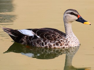 - Indian Spot-billed Duck