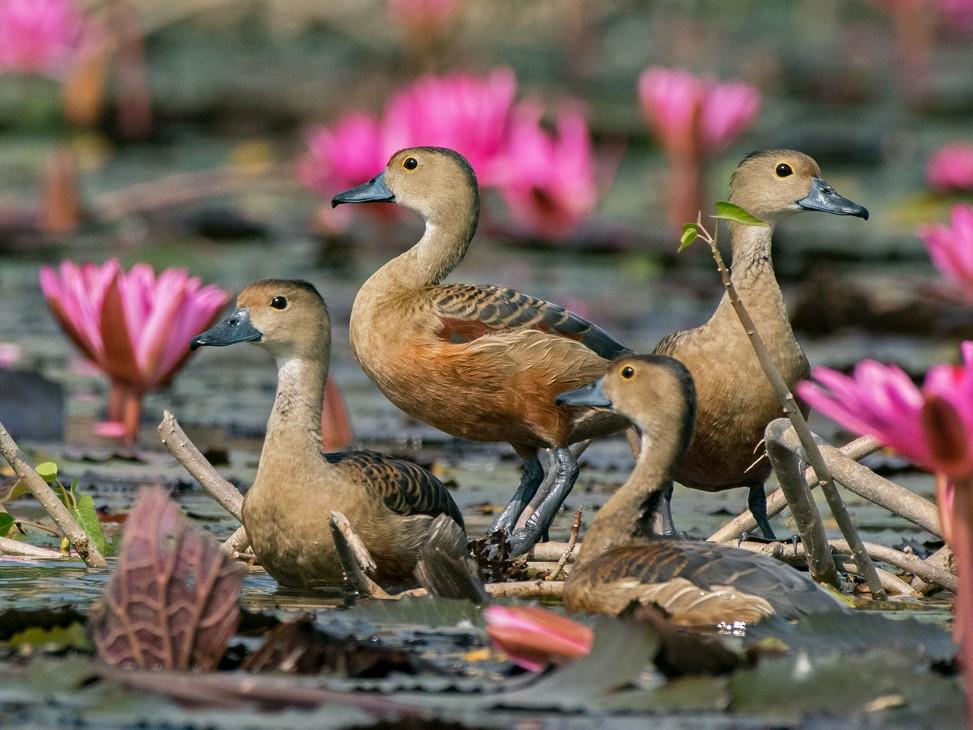Lesser Whistling-Duck - Deepak Sahu