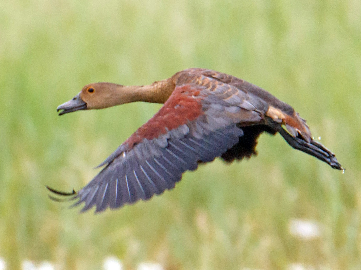 Lesser Whistling-Duck - Adithya Bhat