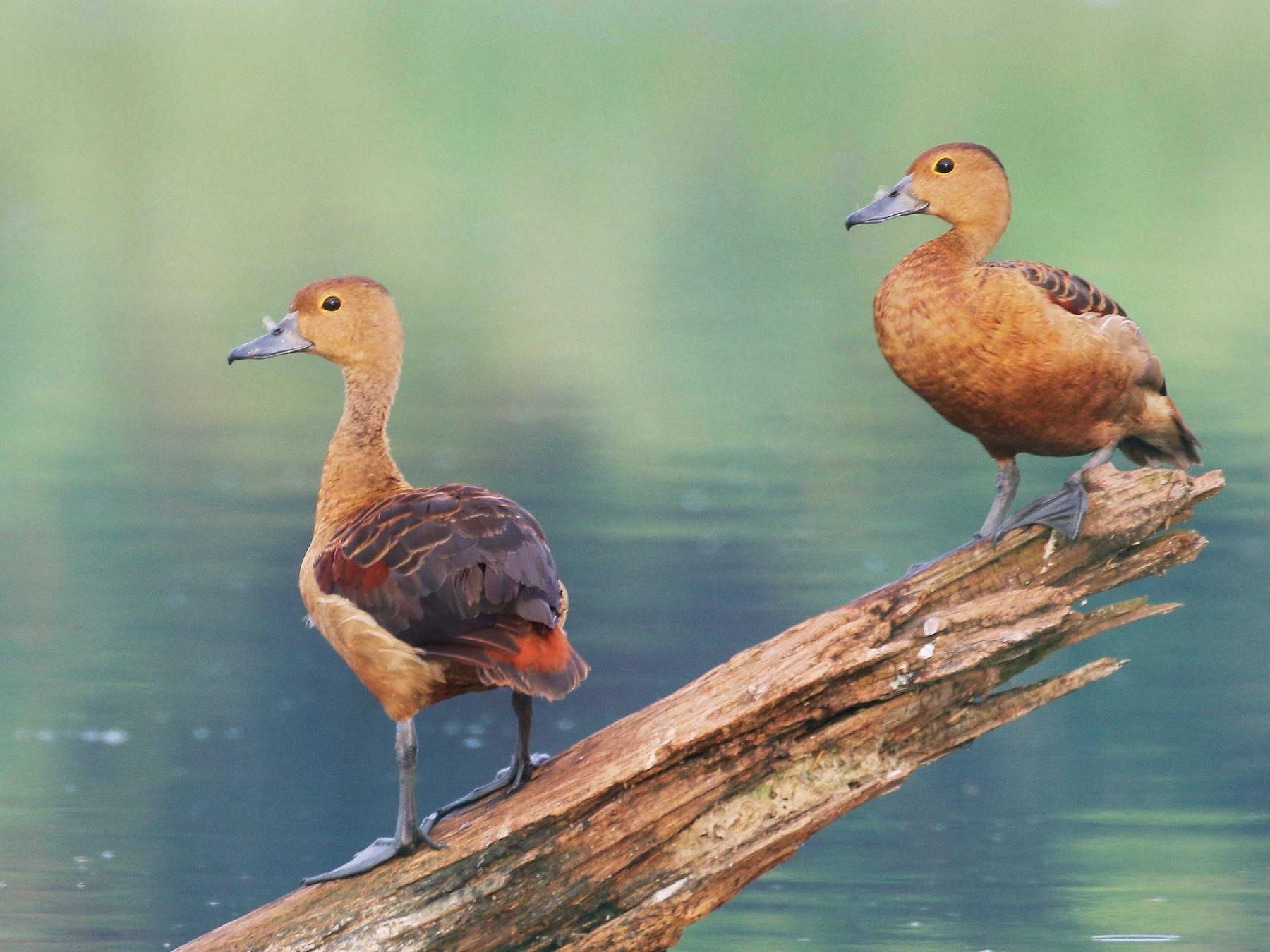 Lesser Whistling-Duck - Neoh Hor Kee
