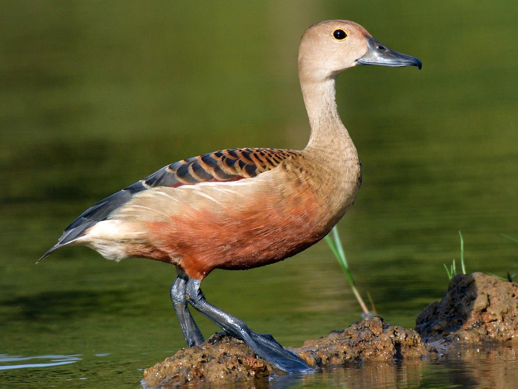 Lesser Whistling-Duck - Dr Jishnu R