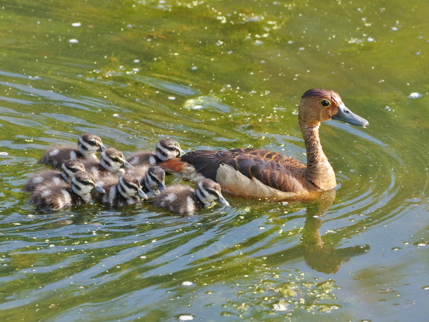 Lesser Whistling-Duck - Thibaud Aronson