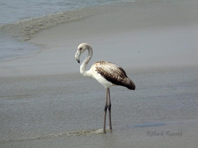 ©Rithwik Razakh - Greater Flamingo