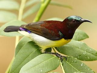 - Purple-rumped Sunbird
